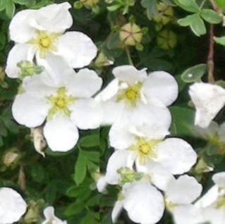 10x Kleiner Spierstrauch Tilford Cream - Potentilla fruticosa - Vorschau