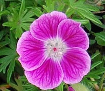 Storchenschnabel Elke - Geranium sanguineum - Vorschau