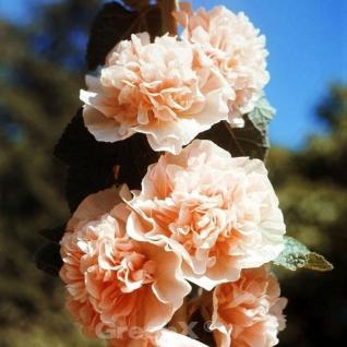 Purpur Stockrose - Alcea rosea - Vorschau