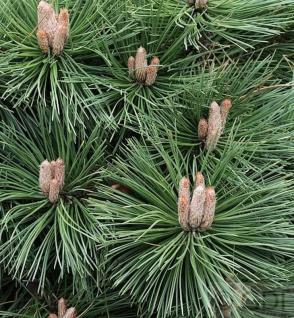 Japanische Schwarzkiefer Kotobuki 20-30cm - Pinus thunbergii - Vorschau