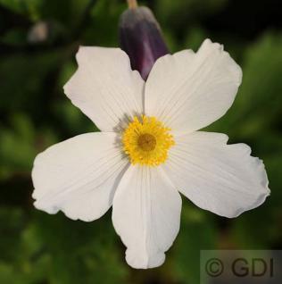 Japanische Herbstanemone Wild Swan - Anemone japonica - Vorschau