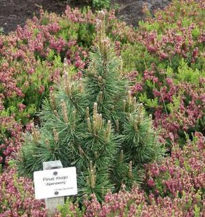 Bergkiefer Alpenzwerg 15-20cm - Pinus mugo - Vorschau
