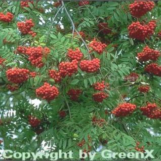 Eßbare Eberesche 125-150cm - Sorbus aucuparia - Vorschau