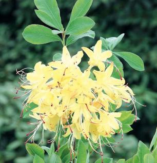 Rhododendron Lemon Drop 40-50cm - Rhododendron viscosum - Vorschau