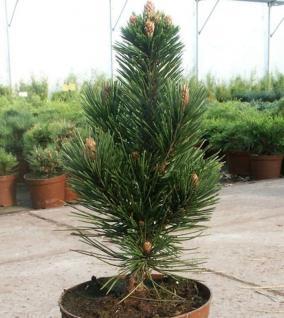 Schlangenhautkiefer Helmers Japan 50-60cm - Pinus leucodermis - Vorschau
