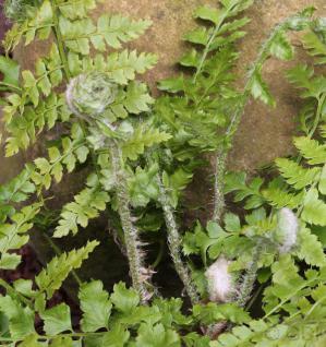 Weicher Schildfarn - Polystichum setiferum - Vorschau