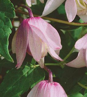 Frühe Alpen Waldrebe Rosy o Grady 40-60cm - Clematis macropetala - Vorschau