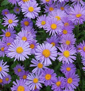 Alpenaster Violett - Aster alpinus - Vorschau