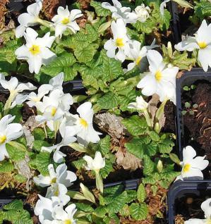 Teppich Primel Schneewittchen - Primula pruhoniciana - Vorschau