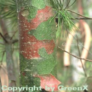 Tempel Kiefer 20-25cm - Pinus bungeana - Vorschau