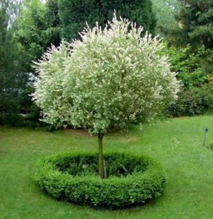 Hochstamm Zierweide Hakuro Nishiki 100-125cm - Salix integra - Vorschau