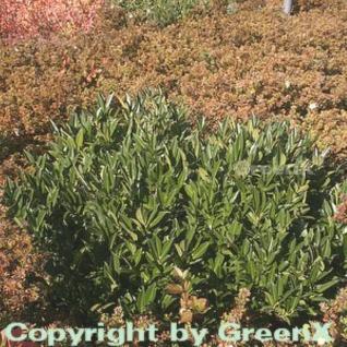 breitwachsende Lorbeerkirsche Otto Luyken 60-80cm - Prunus laurocerasus - Vorschau
