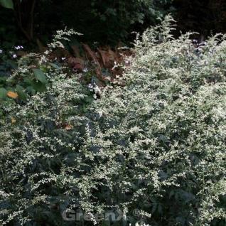 Chinabeifuss - Artemisia lactiflora - Vorschau