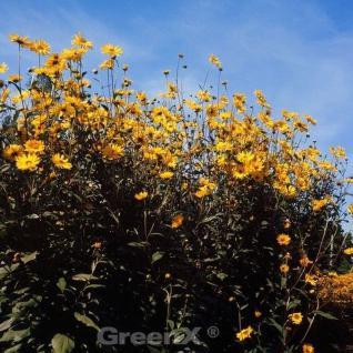 Sonnenblume Meteor - Helianthus decapetalus - Vorschau