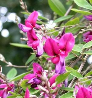 Zweifarbiger Buschklee 30-40cm - Lespedeza bicolor - Vorschau
