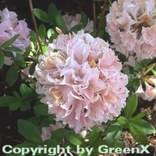 Rhododendron Soir de Paris 30-40cm - Rhododendron viscosum - Vorschau