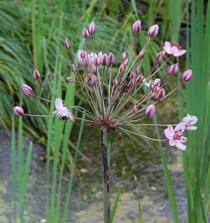 Blumenbinse Rosenrot - Butomus umbellatus - Vorschau