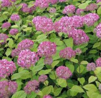 Ballhortensie Pink Percusion 40-60cm - Hydrangea arborescens - Vorschau