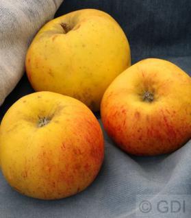 Apfelbaum Osterkamps Renette 60-80cm - ein Winterapfel - Vorschau