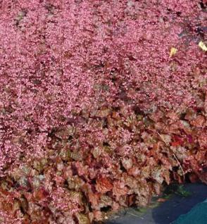 Purpurglöckchen Amber Lady - großer Topf- Heuchera micrantha - Vorschau