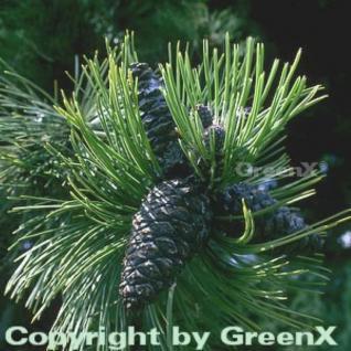 Schlangenhautkiefer Panzerkiefer 100-125cm - Pinus heldreichii - Vorschau