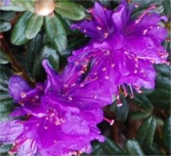 Zwerg Rhododendron Purple Pillow 30-40cm - Rhododendron russatum - Zwerg Alpenrose - Vorschau