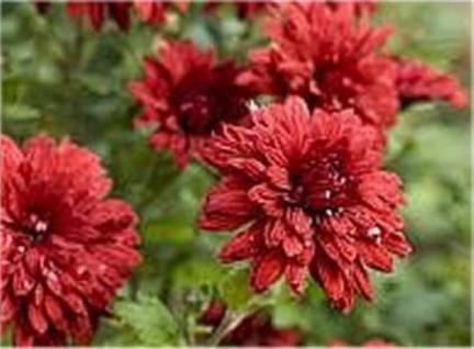 Winteraster Oury - Chrysanthemum hortorum - Vorschau