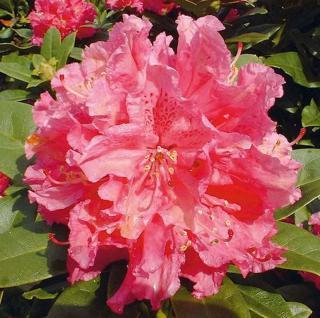 Großblumige Rhododendron Rocket 30-40cm - Alpenrose - Vorschau