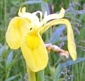 Gelbe Wasserschwertlilie - Iris pseudacorus - Vorschau