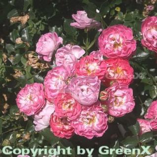 Hochstamm Rose Charmant® 40-60cm - Vorschau