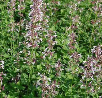 Katzenminze Dawn to Dusk - Nepeta grandiflora - Vorschau