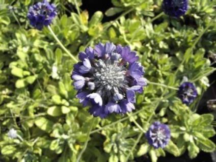 Kopf Primel - Primula capitata - Vorschau