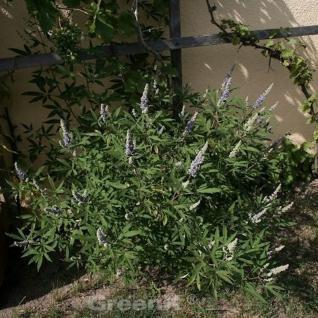 Mönchspfeffer Blue Diddley® 40-60cm - Vitex agnus castus - Vorschau