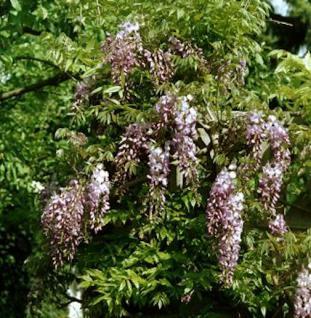 Niedriger Blauregen Shiro Beni 40-60cm - Wisteria sinensis - Vorschau