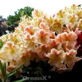 Großblumige Rhododendron Peggy 30-40cm - Alpenrose - Vorschau