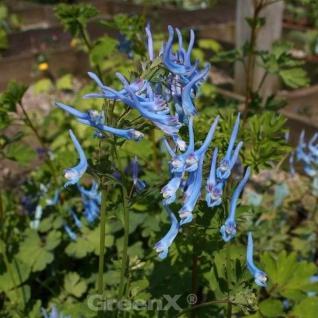 Blauer Lerchensporn China Blue - Corydalis flexuosa - Vorschau