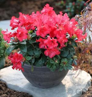 Rhododendron Abendrot 20-25cm - Rhododendron repens - Zwerg Alpenrose - Vorschau