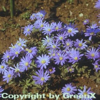 Balkanwindröschen - Anemone blanda - Vorschau