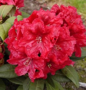 INKARHO - Großblumige Rhododendron Rabatz 40-50cm - Alpenrose - Vorschau