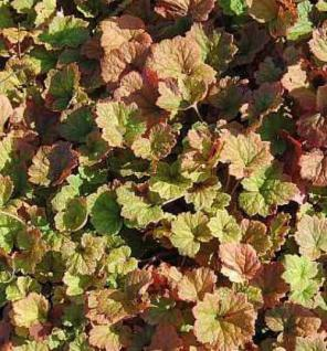 Falsche Allraunwurzel Purpurteppich - Tellima grandiflora - Vorschau