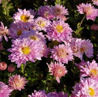 Winteraster Andante - Chrysanthemum hortorum - Vorschau