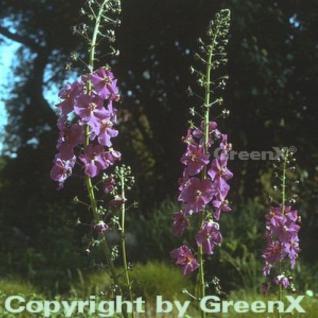 Phönizische Königskerze - Verbascum phoeniceum - Vorschau