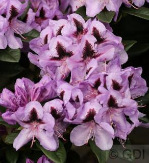 Großblumige Rhododendron Metallica 30-40cm - Alpenrose - Vorschau