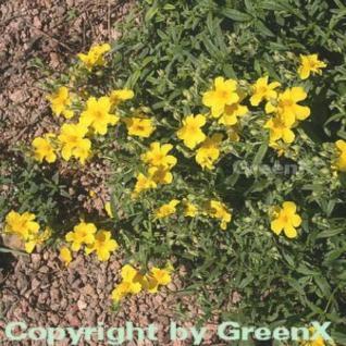 Sonnenröschen Golden Queen - Helianthemum - Vorschau