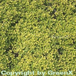 Zitronenthymian Golden Dwarf - Thymus citriodorus - Vorschau