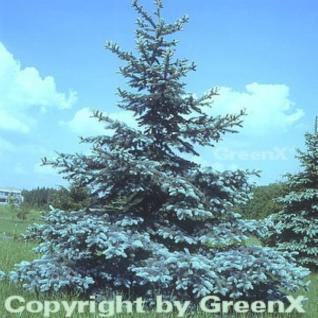 Blaufichte Koster 80-100cm - Picea pungens - Vorschau