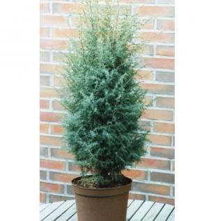 Heidewacholder Excelsa 80-100cm - Juniperus communis - Vorschau