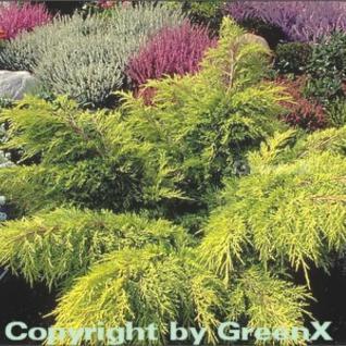 Goldgelber Wacholder Old Gold 20-25cm - Juniperus media - Vorschau