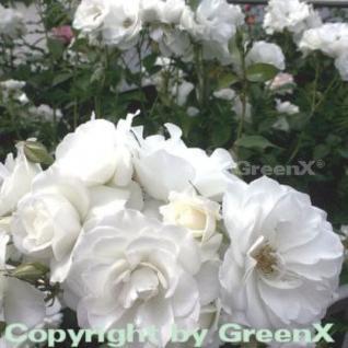 Hochstamm Rose Schneewittchen 80-100cm - Vorschau