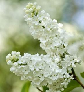 Edelflieder Beauty of Moscow 60-80cm - Syringa vulgaris - Vorschau
